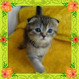 шотландские кошки из питомника c опытом съемок - 14045637_1795926647319909_7342580470031819440_n.jpg