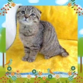 шотландские кошки из питомника c опытом съемок - image.jpg