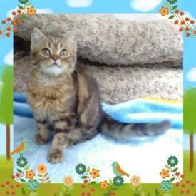 шотландские кошки из питомника c опытом съемок - image8BP33FYF.jpg